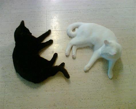 white black cat file black cat and white cat both lying on the floor jpg