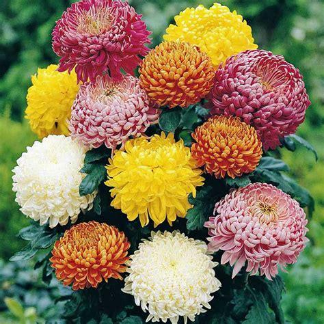Chrysanthemum by Australian Seed Chrysanthemum Early Double Mix