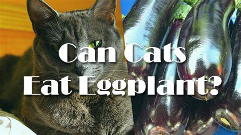 can dogs eat eggplant can cats eggplant pet consider