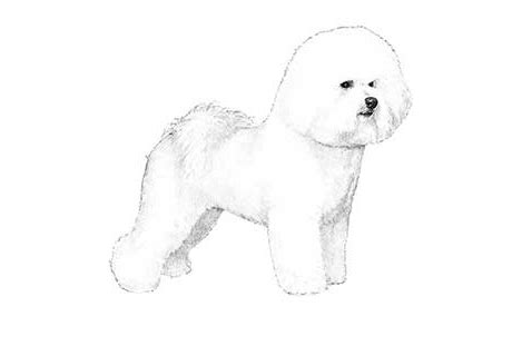 Bichon Frise Also Search For Joseph Gardner Bichon Frise Puppies For Sale