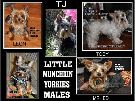 munchkin yorkies munchkin yorkies puppies for sale