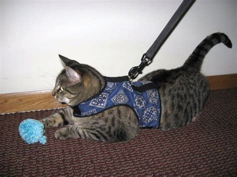 how to your to walk with a leash how to your cat to walk on a leash iheartcats
