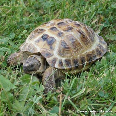 horsfield tortoise horsfield tortoise