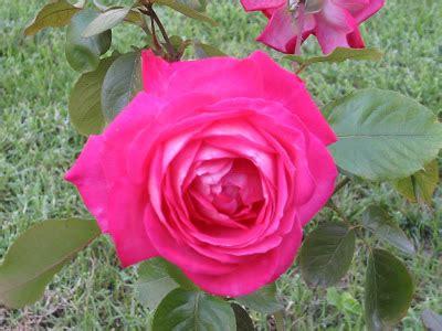 imagenes rosas movibles imagenes de rosas movibles imagui
