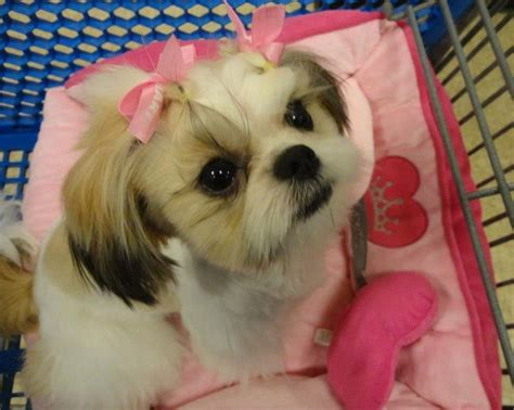 munchkin the shih tzu 17 best images about shih tzu hair grooming ideas on best dogs and