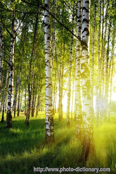 Toggle Cl Vertical Cl Jointch Ja 13007 birch forest photo picture definition at photo dictionary birch forest word and phrase