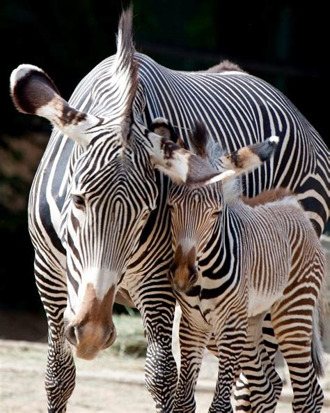 Baby Zebra photos five of the denver zoo s arrivals westword
