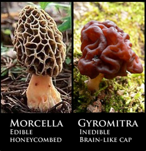 finding morels in bc