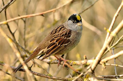 golden crowned sparrow song call voice sound