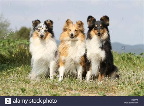 sheltie colors blue merle and white stock photos blue merle and