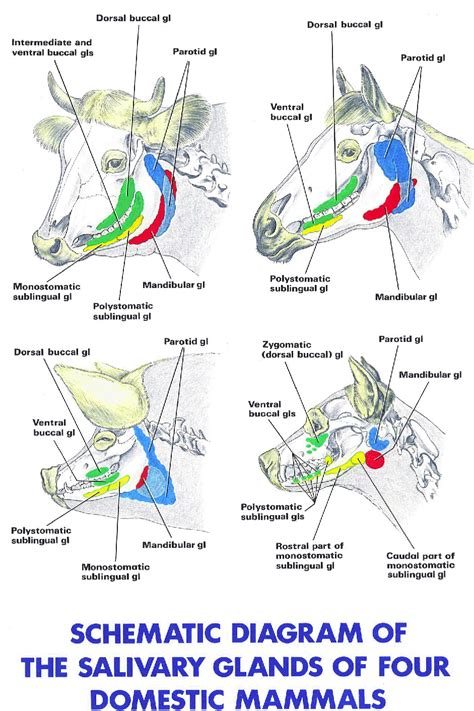 diagram of salivary glands lymph node in groin diagram lymph node pictures posters