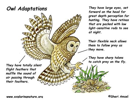 image gallery owls physical adaptations