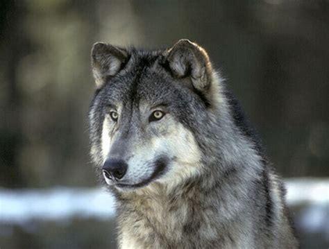 imagenes de animales lobos animales salvajes y peligrosos