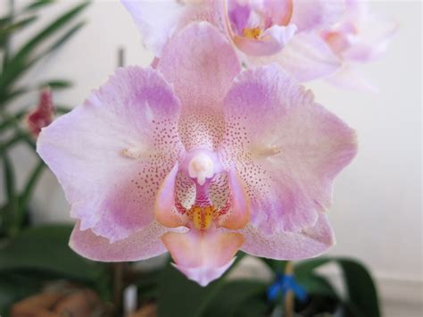 top 28 when do orchids bloom again dendrobium pseudotenellum blooming again orchids in
