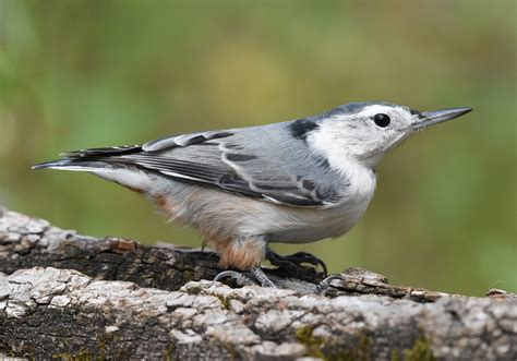 white breasted nuthatch birdwatching