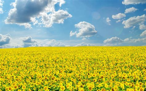 sunflower fields sunflower field wallpaper 261577