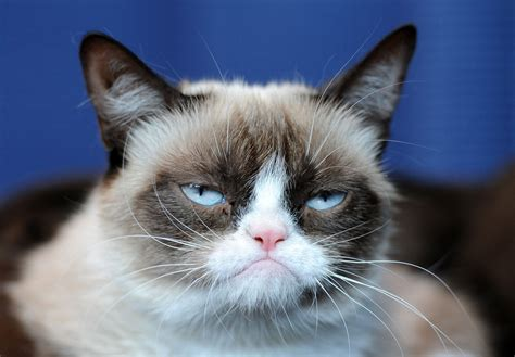 grumpy cat grumpy cat pictures breed personality history