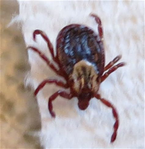 tick vs deer tick tick vs deer ticks other pictures to pin on pinsdaddy