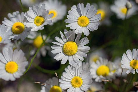 sognare fiori cosa significa sognare margherite tutto sogni