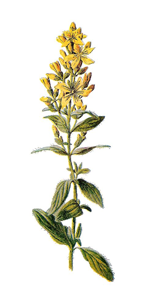 st johns wort clipart clipground