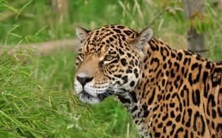 Jaguar The Cat Jaguar Cat Muzzle Wallpaper 2560x1600 166513