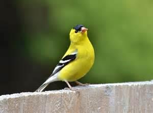 yellow bird names www pixshark com images galleries