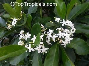 Gardenia Bush Size Atractocarpus Fitzalanii Randia Fitzalanii Gardenia