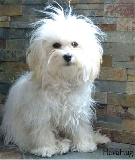 white havanese puppy havahug havanese puppies havahug havanese puppies of michigan