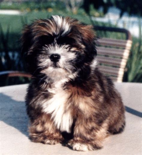 picture of shih tzu puppies puppies pictures