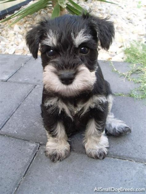 how to give a miniature schnauzer puppy a first haircut ehow omg this little mini schnauzer puppy is just so adorable