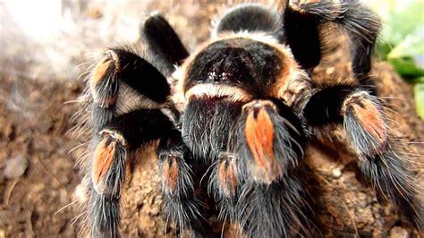 Brachypelma Auratum Baby Tarantula 1 brachypelma smithi and brachypelma auratum comparison