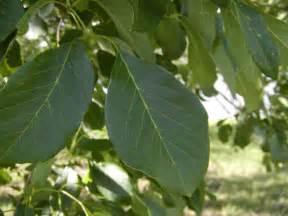 Leaf Tx Tree Land Nursery Dallas Ash Tree