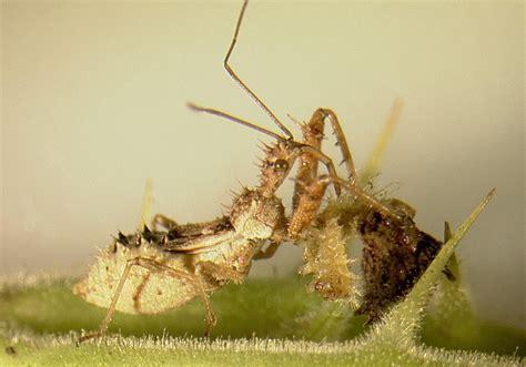 natural predator of bed bugs photo gallery natural enemies of gratianan boliviana