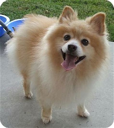 spitz and pomeranian mix fluffy adopted fluffy orlando fl spitz unknown type small pomeranian mix