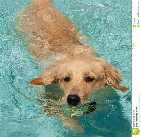 golden retriever swimming golden retriever swimming 2 stock images image 15100194