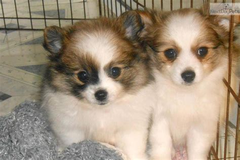 pomeranian breeders illinois pomeranian puppies for sale pomeranian puppies for sale in ny breeds picture