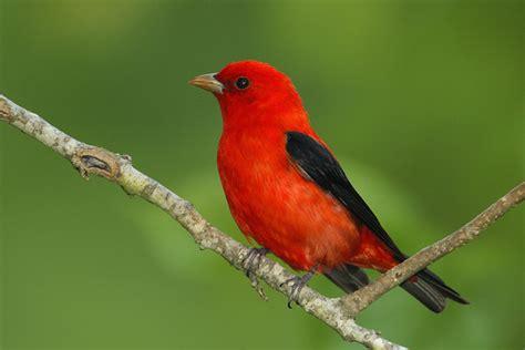 birds scarlet tanager