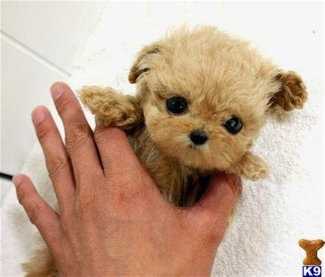 teacup puppy breeds 25 best ideas about teacup breeds on teacup dogs cutest small dogs
