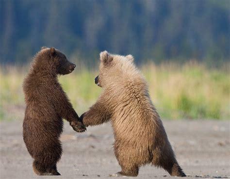 bear s edge of the plank cute animals baby bear cubs