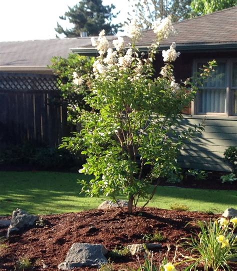 shade tree for small backyard dog friendly shade trees for small yards landscape