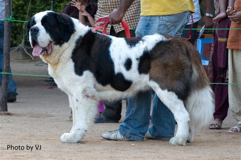 st bernard puppies price st bernard puppies for sale vijay saradhi boddapati 1 6698 dogs for sale price