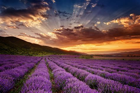 Make Purple Paint by Image Gallery Lavender Fields