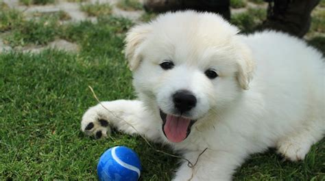 samoyed golden retriever mix golden retriever samoyed mix friends