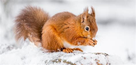 Tiere Im Winter Eichh Rnchen 4539 by Eichh 246 Rnchen Im Winter Eichh Rnchen Im Winter Sch Pfung