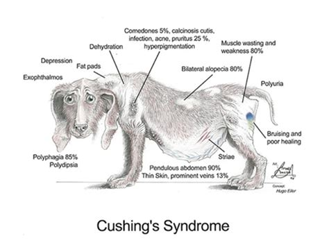 cushing disease in dogs cushings disease in dogs what you need to