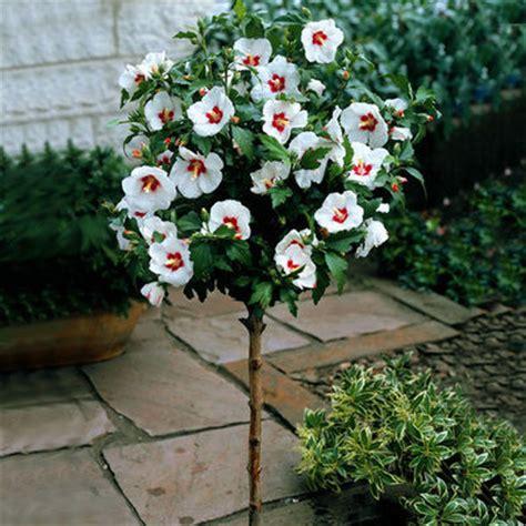 hibiskus zimmerpflanze kaufen hibiskus auf stamm rot wei 223 floraprima auf blumen de