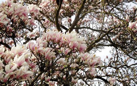 immagini magnolia fiore foto gratis albero di magnolia immagine gratis su