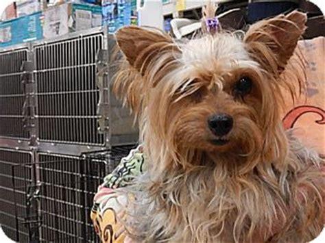 yorkie rescue tucson az kamile adopted tucson az yorkie terrier