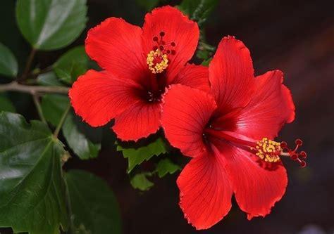 fiore d ibisco ibisco coltivazione hibiscus hibiscus piante da