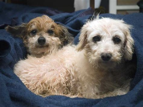 lifespan of chihuahua poodle mix the breeds that live the business insider